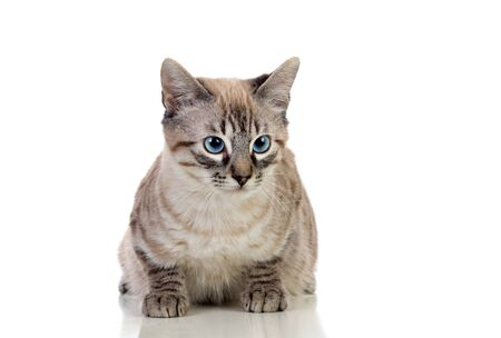 Beautiful cat with blue eyes isolated on a white background Foto de archivo