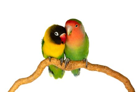 Lovebirds on a branch isolated on a white background