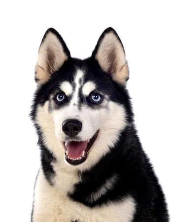 Portrait of a blue eyed Siberian Husky dog isolated on white background