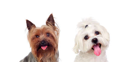 Two small dogs isolated on a white background