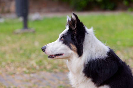 Beautiful dog with different eye colors in a park Фото со стока