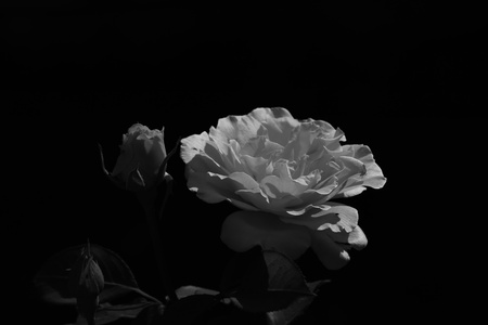 Black and white roses  photo