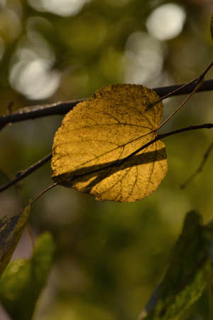 Macro with yellowing autumn leaves in sunlight 版權商用圖片