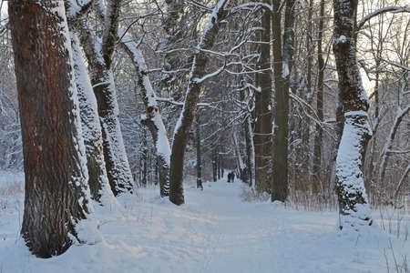 Evening walk in an ancient nature park on a winter alley made of large old trees of different breeds