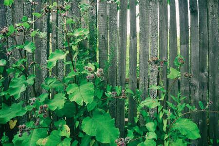 Green Burdock grows near a rural wooden old fence.