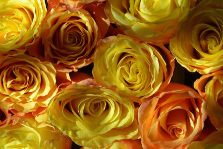 Colorful roses background - natural texture of tenderness and love from close-up of yellow-orange roses.