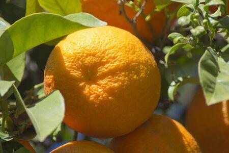 valencia orange: Fresh oranges hanging on a branch