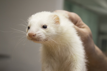 ferret: Portrait of a ferret. Veterinary catches by the neck. Stock Photo