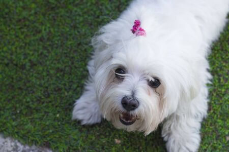 playfulness: White small dog in playfulness. Portrait.