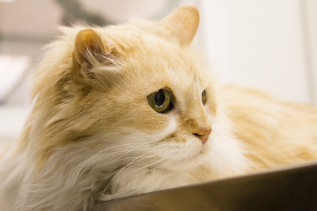 Long haired cat on the table of the veterinary clinic