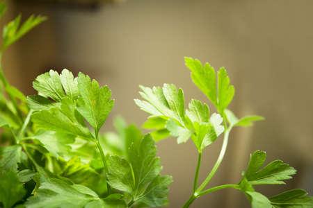 Fresh parsley. Seasoning for healthy cooking. Suitable for vegetarians and vegans