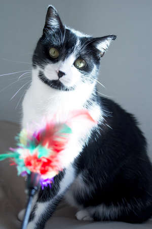 Black and white cat playing with colored cat duster. No people Stock Photo