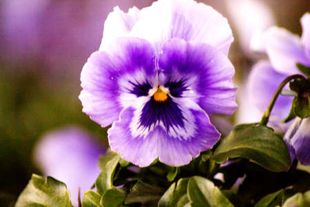 Purple pansy flower planted in the field. No people Stock Photo