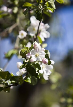Apple Blossom with short focal depth on a sunny day Stock Photo