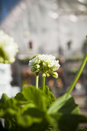 short focal depth: Pelargonium with short focal depth