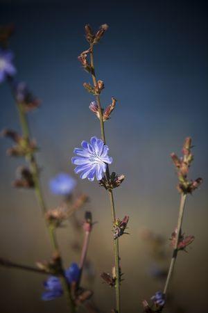 short focal depth: Blue flower with short focal depth