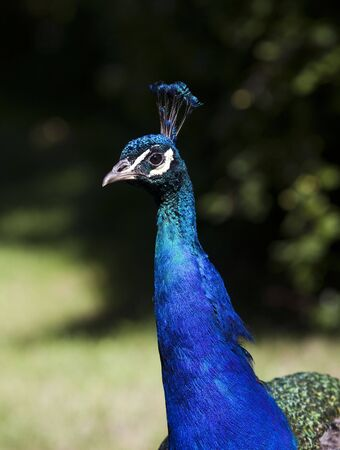 short focal depth: Peacock with short focal depth