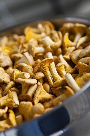 mushrooming: Close up of chantarelles