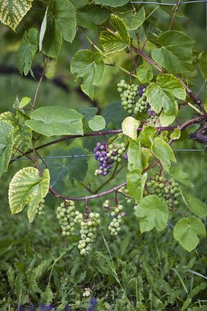 develope: Grapes on the vine