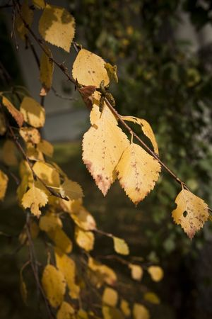 Autumn yellow leaves with short focal depth