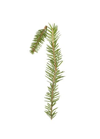 Spruce twigs forming the number '1' isolated on white Stock Photo - 5624516