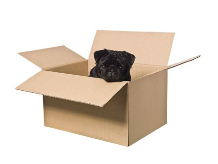 Dog in a box isolated on a white background photo