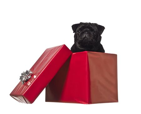 open gift box: Dog in a gift box isolated on white