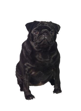 Portrait of a black dog isolated on white photo