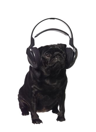 black pug: Black pug listening to music isolated on white