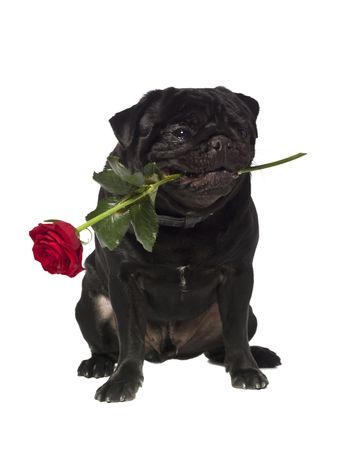 black pug: Black pug with a rose in the mouth isolated on white
