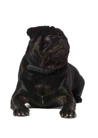black pug: Black pug isolated on a white background Stock Photo