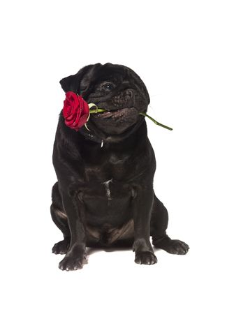 Black pug with a rose in the mouth isolated on white