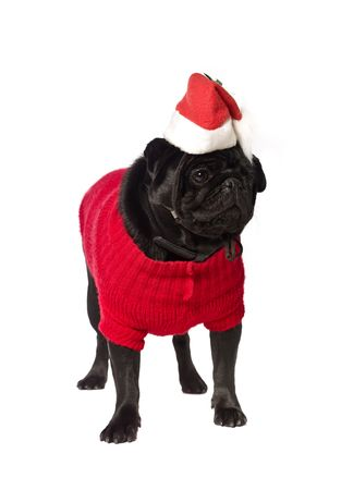 Black pug with a christmas dress isolated on white photo
