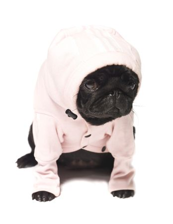 pug puppy: Black pug dressed in a pink hoodie isolated on white