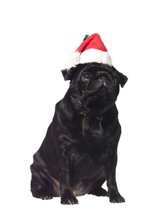 Black pug with a santa hat isolated on white photo