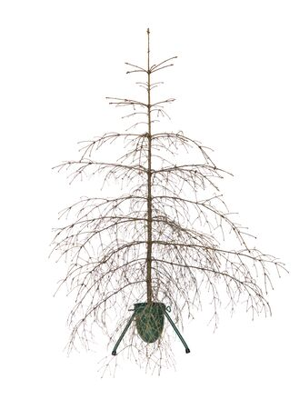 Dead christmas tree isolated on a white background photo