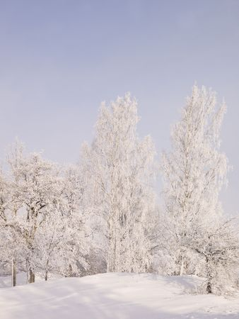 Trees in a winter view photo