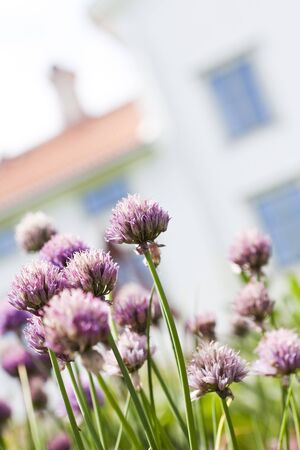 short focal depth: Purple Leek with short focal depth