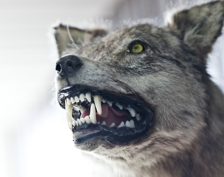 Close up of an angry wolf