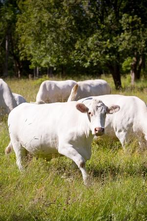 Scandinavian white cow on a field photo
