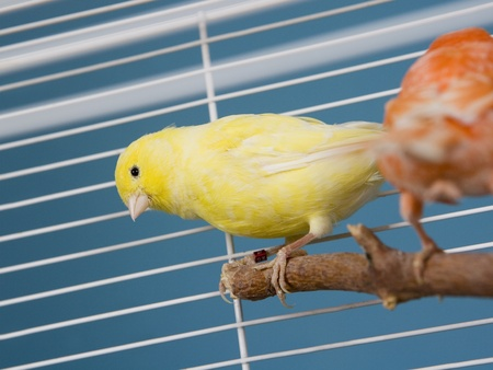 locked in: Two Pet Birds in a Cage