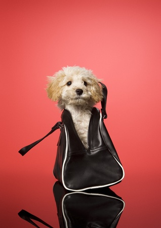 pet photography: Sweet dog in a bag on red background