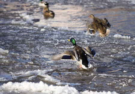 Flying Ducks in winter environment photo