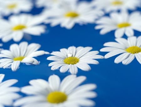 oxeye: Group of Oxeye Daisy on blue background