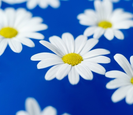 nature photography: Group of Oxeye Daisy on blue background