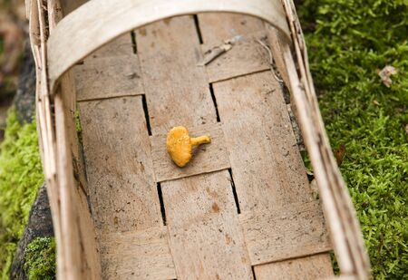 chanterelle: Chantarelle in a basket in the forest Stock Photo