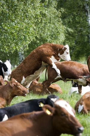 Tranquil Scene with Domestic cows Stock Photo - 12303201