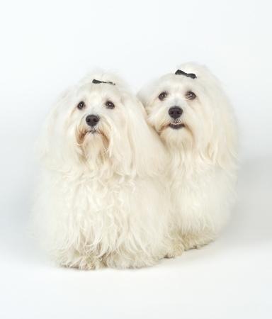 White Dogs isolated on white background photo