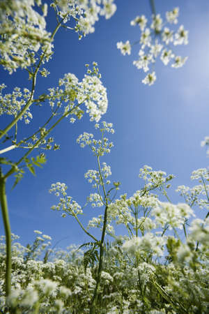 nature photography: Cow Parsley from low angle view towards blue sky