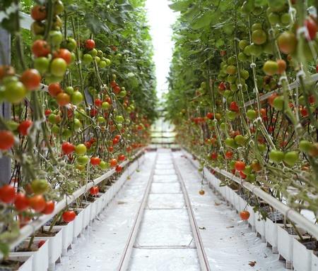 kassen: Rijen van tomaten in een kas Stockfoto